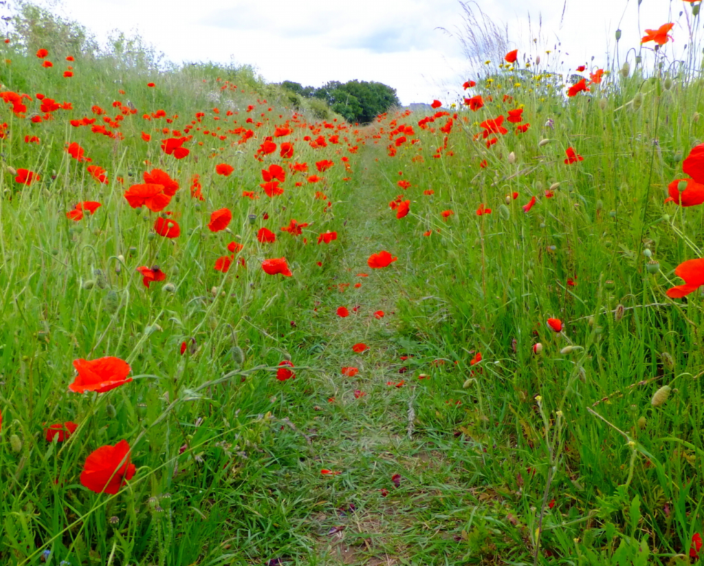 Poppies on the track to Saltcoats Castle, a scenic, ruinous and overgrown old castle of the Livingstone family, near the pretty village of Gullane in East Lothian.