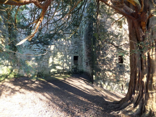 Magnificent yew tree, Roslin Castle, an impressive, partly ruinous old stronghold on a rock above the River Esk, long held by the Sinlcairs and near the beautiful and intricately carved Rosslyn Chapel