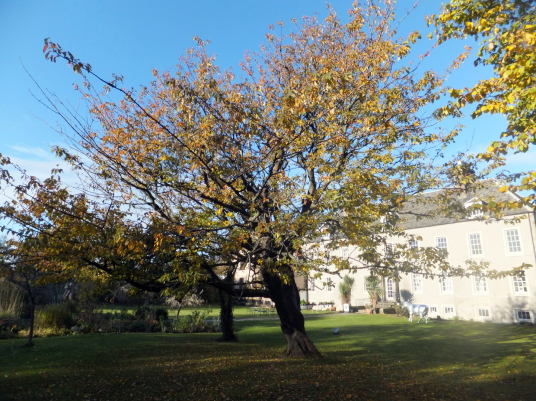 View of fruit trees of Cockenzie House, a long plain mansion with some old interiors, dating from the 17th century, in beautiful gardens in the pleasant town of Cockenzie and Port Seton on the banks of the Firth of Forth, near Prestonpans in East Lothian.