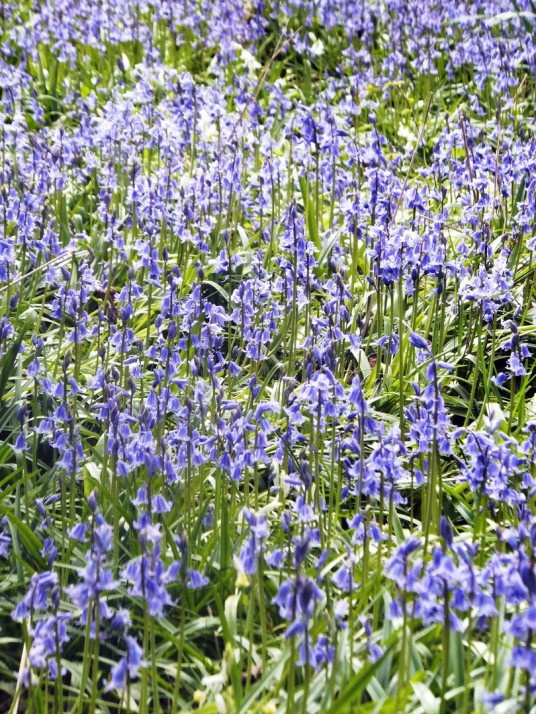 Bluebells, at Cockenzie House, a long but attractive plain mansion, dating from the 17th century and long held by the Cadell family, in beautiful gardens with a cafe, shop and gallery in the pleasant seaside town of Cockenzie and Port Seton on the banks o