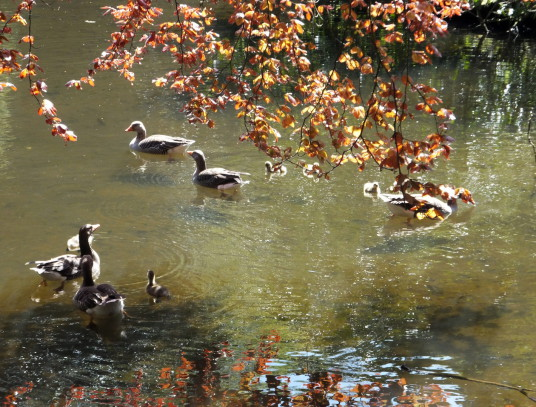 Geese, Smeaton Lake, Smeaton Hepburn or Smeaton House, a property of the Hepburns, has been demolished but the lovely landscaped grounds and walled garden survive, now a garden centre and cafe, near East Linton in East Lothian in southeast Scotland.