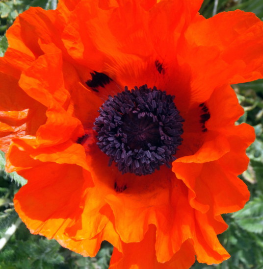 Poppy, Cockenzie House, a long plain mansion with some old interiors, dating from the 17th century, in beautiful gardens in the pleasant town of Cockenzie and Port Seton on the banks of the Firth of Forth, near Prestonpans in East Lothian.