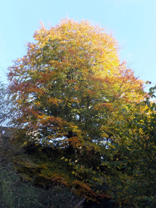 Tree in autumn, Aberdour Castle, a scenic old stronghold castle with gardens and orchard of the Douglas Earls of Morton, in the pretty village of Aberdour in Fife.