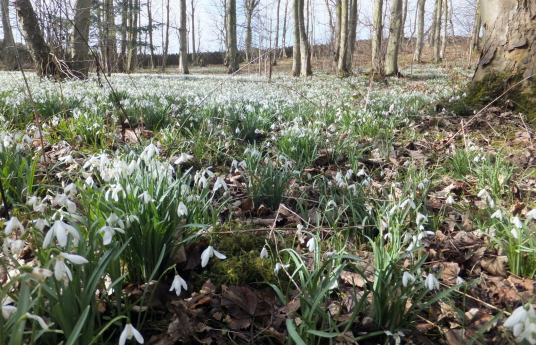 Snowdrops in the woods, Smeaton Hepburn or Smeaton House, a property of the Hepburns, has been demolished but the lovely landscaped grounds and walled garden survive, now a garden centre and cafe, near East Linton in East Lothian in southeast Scotland.