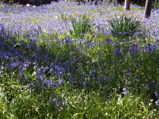 Bluebells, Cockenzie House, a long plain mansion with some old interiors, dating from the 17th century, in beautiful gardens in the pleasant town of Cockenzie and Port Seton on the banks of the Firth of Forth, near Prestonpans in East Lothian.