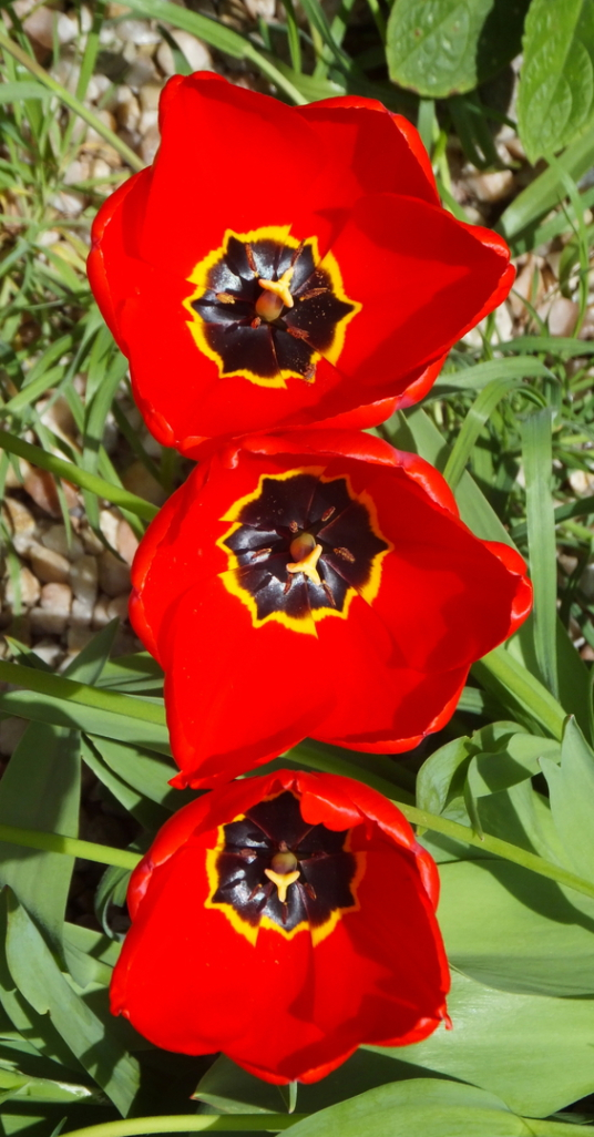 Red tulips, Cockenzie House, a long plain mansion with some old interiors, dating from the 17th century, in beautiful gardens in the pleasant town of Cockenzie and Port Seton on the banks of the Firth of Forth, near Prestonpans in East Lothian.