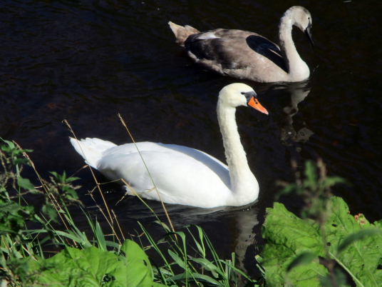 Swans, Hailes Castle is a picturesque and substantial ruinous old fortress, perched on a rocky crag above the River Tyne near East Linton in East Lothian, long held by the Hepburn family and associated with Mary Queen of Scots.